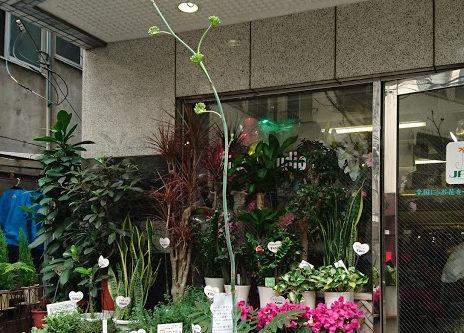 アガベ 花