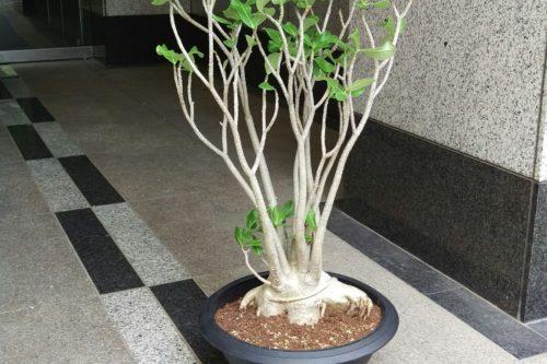 アデニウムアラビカム コーデックス 塊根植物