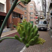 アガベ開花はじまりました。
