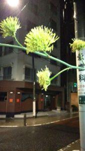 アガベの花